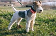 Foxterrier Drahthaar (FT)