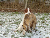 Irish Red and White Setter (IRWS)