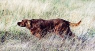 Irish Setter (IS)